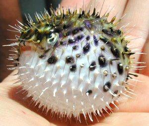 A puffer fish