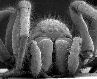 spider under an electron microscope